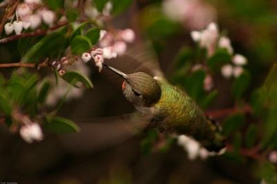 annas_hummingbird_by_ben_wilson_of_freedigitalphotosdotnet